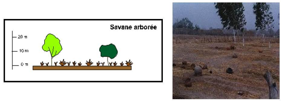 savanearbore.jpg